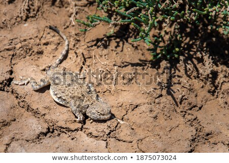 Sunwatcher Toadhead Agama Lizard Phrynocephalus Helioscopus Stock photo © Qingwa