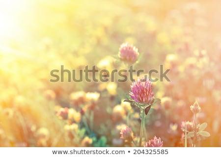 Clover field in late summer Stock photo © simazoran