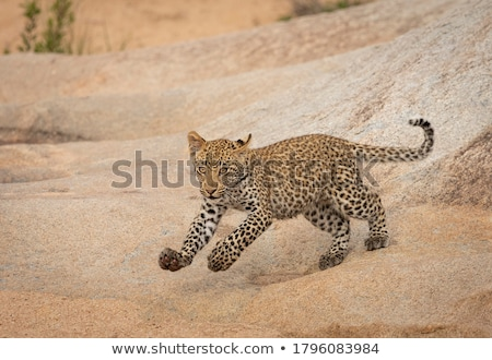 Leopard on rocks in a riverbed in Kruger. Stock photo © simoneeman