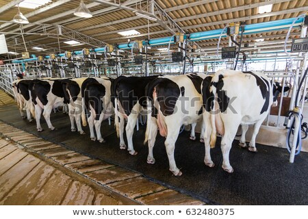 cows and milking machine at rotary parlour on farm Stock photo © dolgachov