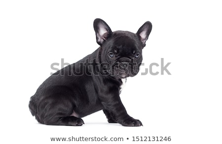 французский · бульдог · собака · красивой - Сток-фото © michaklootwijk