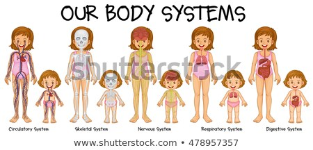 Diagram showing different body systems of human girl Stock photo © bluering