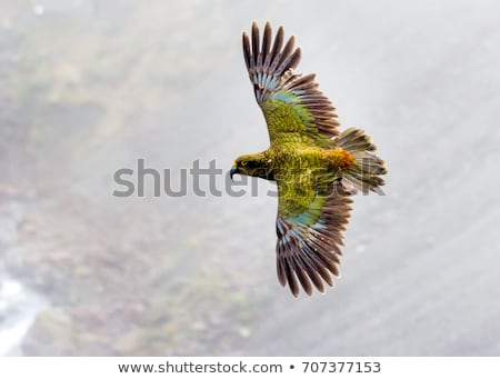 kea, kea bird, kea parrot, rare bird, rare animal, vulnerable, parrots, parrot, new zealand, south i Stock photo © dannyburn