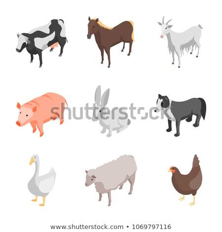 Pigs breeding on ranch isometric 3D element Stock photo © studioworkstock