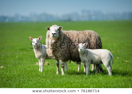 Foto d'archivio: Mother Sheep And Her Lambs In Spring