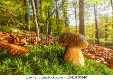 mushroom in sun rays wood Stock photo © romvo