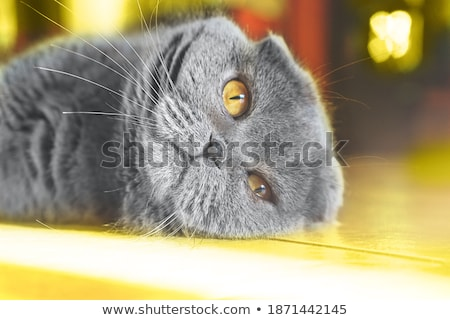 cute scotish fold with yellow eyes lying Stock photo © feedough