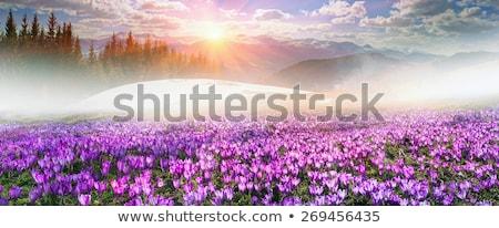 Selvatico zafferano montagna prato crescita crocus Foto d'archivio © taviphoto