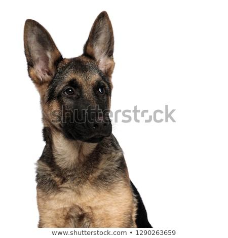 Nieuwsgierig wolf hond naar kant Stockfoto © feedough
