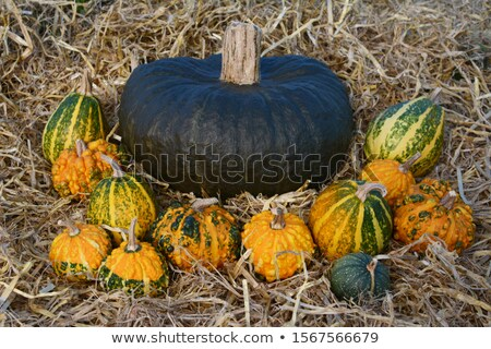 Large dark green squash surrounded by warted gourds  Stock photo © sarahdoow