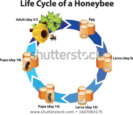 Diagram showing life cycle of honeybee Stock photo © bluering