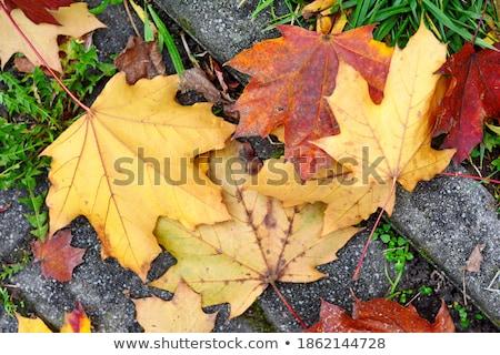 Trocken Herbst Ahorn Blätter grau Stein Stock foto © dolgachov