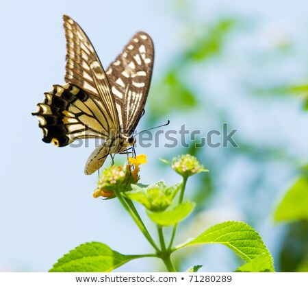 Swallowtail butterfly flying and feeding under blue sky  Stock photo © Ansonstock