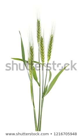緑 小麦 耳 クローズアップ 表示 白 ストックフォト © bbbar