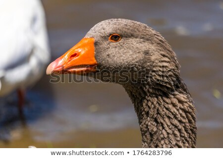 Fej barbár liba közelkép feketefehér hát Stock fotó © Elenarts