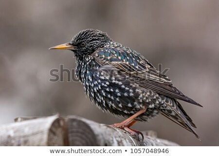 common starling stock photo © suerob