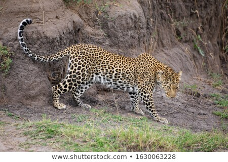 Leopard (Panthera pardus) Stock photo © ajlber
