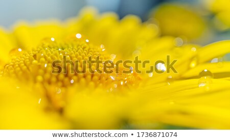 camomile 16 Stock photo © LianeM
