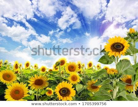 подсолнечника небе травой поле трава лет синий Сток-фото © premiere