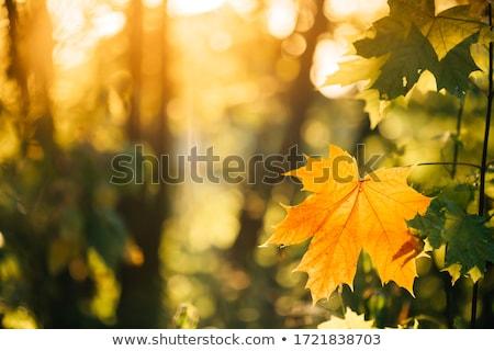 Jesienią żółty liści zielone Zdjęcia stock © ryhor