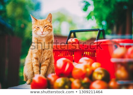 Red fluffy cat with fresh tomatos Stock photo © ryhor