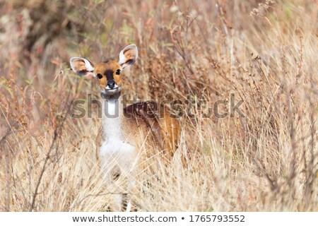 Shy Bushbuck Antelope Zdjęcia stock © Artush