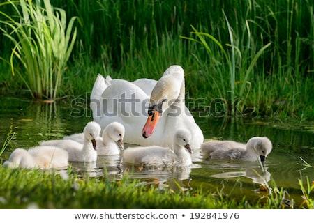 Copil Lebădă Picaturi De Apa Faţă Pasăre