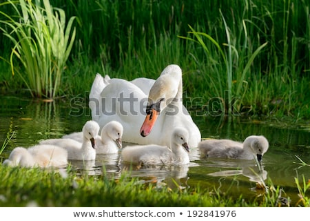 Bebê cisne cara pássaro Foto stock © kimmit