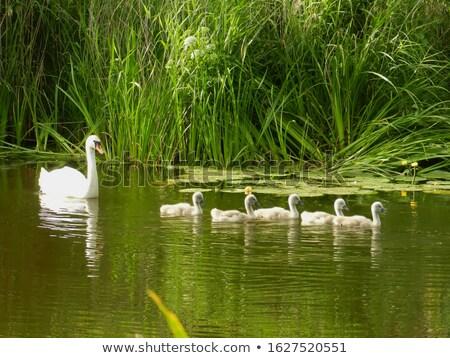 Beautiful five white swans on the lake Stock photo © shihina