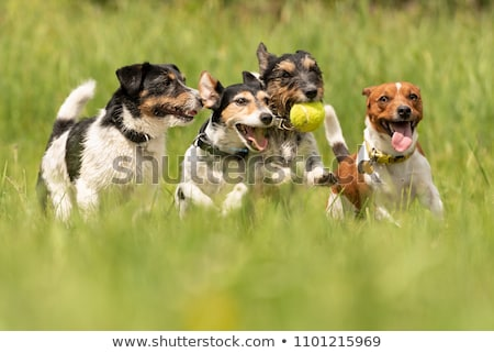four dogs playing stock photo © willeecole
