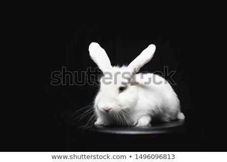 Black and white rabbit Stock photo © Ximinez
