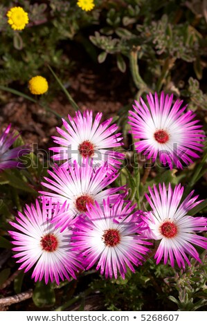 bunch of pink wild flowers in the field at west coast national p stock photo © tang90246