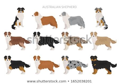 Tricolor australiano pastor branco cão preto Foto stock © cynoclub