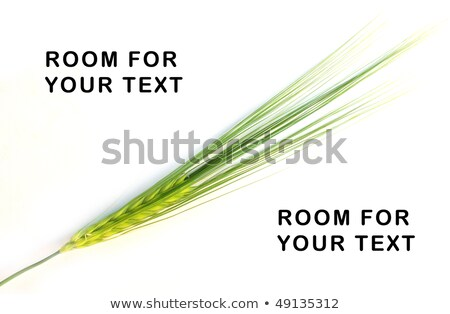 green spike of corn Stock photo © meinzahn