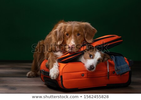 Foto stock: Pato · retriever · saco · branco · cão · animal