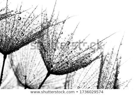 white dandelion on blue stock photo © neirfy