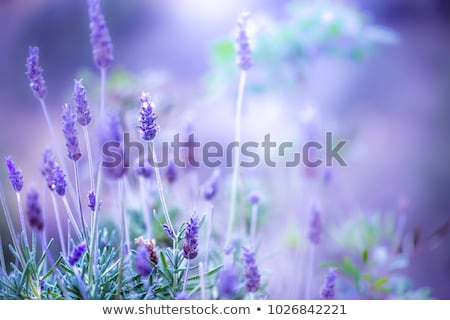 Colorful lilac flowers Stock photo © karandaev