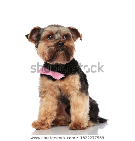 stylish yorkie wearing pink bowtie looks up to side Stock photo © feedough