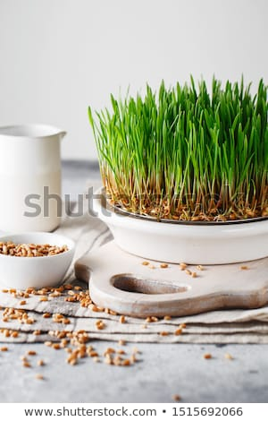 Gardener with wheatgrass seedlings Stock fotó © Kzenon