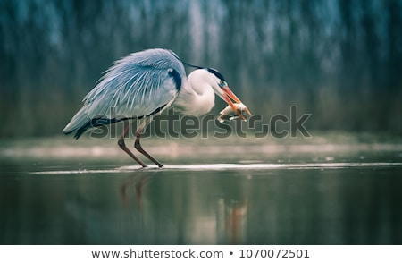 Grey Heron  (Ardea cinerea) - wildlife in its natural habitat Stock photo © lightpoet