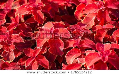 Piros bársony növény részlet lila virág Stock fotó © jamdesign