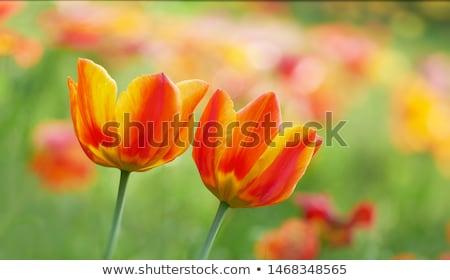 deux · fleurs - photo stock © zzve