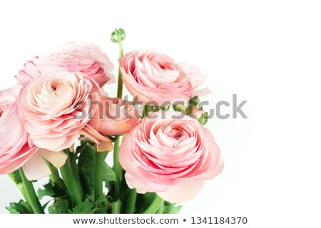 woman with pink ranunkulus bouquet on a white background stock photo © artjazz
