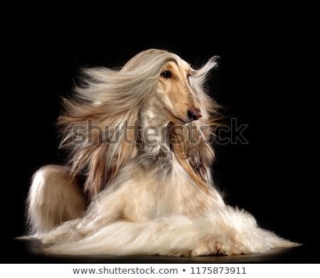 Black afghan hound dog Stock photo © raywoo