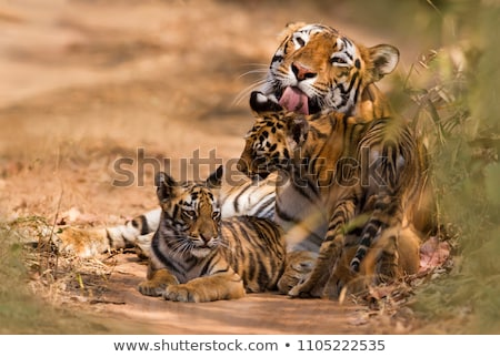 Royal White Bengal Tiger Cub Stock photo © billperry
