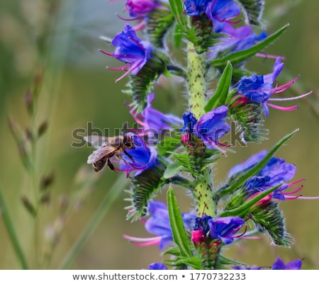 Viper's Bugloss (Echium Vulgare) Stock photo © Stocksnapper