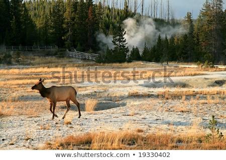 Female Elk at dusk Stock photo © emattil