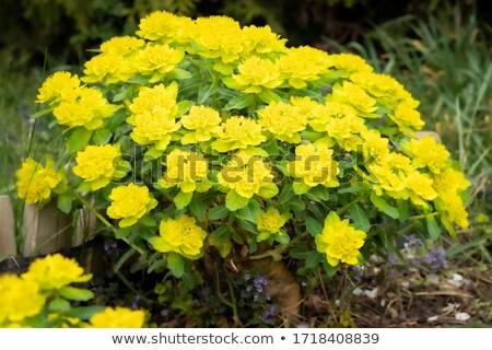 Yellow Flower of Euphorbia polychroma  Stock photo © tainasohlman