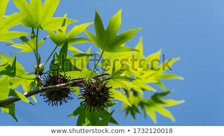 verde · jovem · folhas · brilhante · céu - foto stock © Moravska