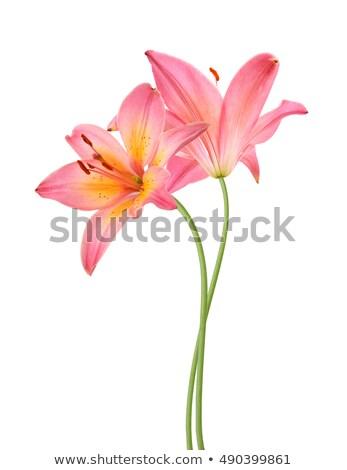 ピンク ユリ クローズアップ 選択フォーカス ストックフォト © vtls